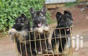 Young Female Mixed Breed German Shepherd Dog | Dogs & Puppies for sale in Dar es Salaam, Temeke