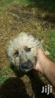 Baby Male Mixed Breed German Shepherd Dog | Dogs & Puppies for sale in Arusha, Arusha