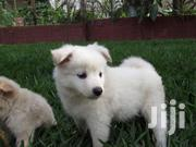 Pomeranian Puppies!!!MAKE A DEAL | Dogs & Puppies for sale in Arusha, Arusha