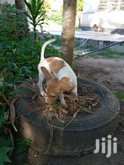 Young Female Purebred Jack Russell Terrier | Dogs & Puppies for sale in Dar es Salaam, Kinondoni