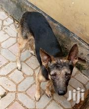 Adult Male Purebred German Shepherd Dog | Dogs & Puppies for sale in Dar es Salaam, Ilala