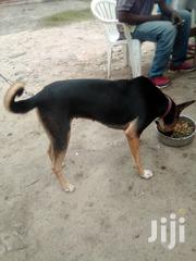 Young Male Mixed Breed German Shepherd Dog | Dogs & Puppies for sale in Dar es Salaam, Ilala