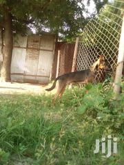 Young Male Mixed Breed Basenji | Dogs & Puppies for sale in Dar es Salaam, Ilala