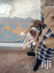 Baby Male Mixed Breed | Dogs & Puppies for sale in Mwanza, Ilemela