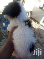 Baby Male Purebred American Foxhound | Dogs & Puppies for sale in Dar es Salaam, Ilala