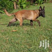 Young Female Purebred Belgian Malinois | Dogs & Puppies for sale in Dar es Salaam, Temeke