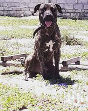 Adult Male Mixed Breed American Pit Bull Terrier | Dogs & Puppies for sale in Dar es Salaam, Temeke
