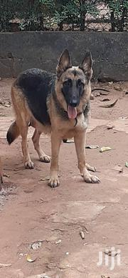 Adult Female Purebred German Shepherd Dog | Dogs & Puppies for sale in Morogoro, Idete