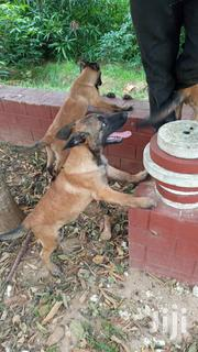 Young Male Purebred Belgian Malinois | Dogs & Puppies for sale in Dar es Salaam, Temeke