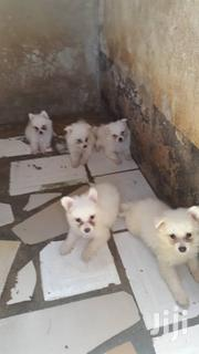 Young Male Purebred Japanese Spitz | Dogs & Puppies for sale in Dar es Salaam, Kinondoni