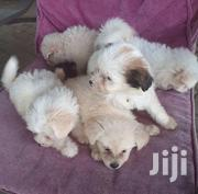 Young Female Purebred Maltese | Dogs & Puppies for sale in Dar es Salaam, Kinondoni