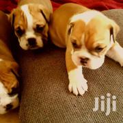 Baby Female Purebred Bulldog | Dogs & Puppies for sale in Kilimanjaro, Moshi Rural
