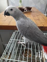 African Grey Parrot For Sale | Birds for sale in Dar es Salaam, Ilala