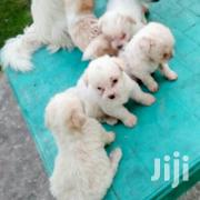 Young Male Purebred Maltese | Dogs & Puppies for sale in Dar es Salaam, Kinondoni