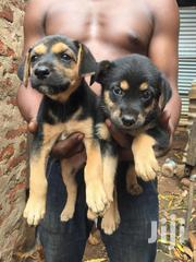 Young Male Mixed Breed Rottweiler | Dogs & Puppies for sale in Morogoro, Turiani