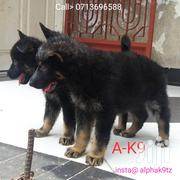 Baby Female Purebred German Shepherd Dog | Dogs & Puppies for sale in Dar es Salaam, Kinondoni