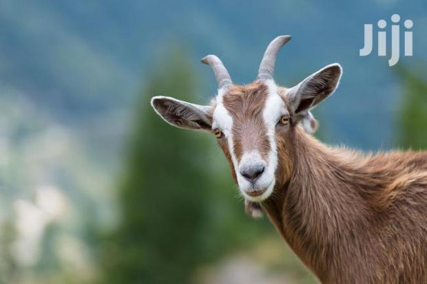 Archive: A Big He Goat On Sale