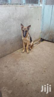 German Shepherd | Dogs & Puppies for sale in Dar es Salaam, Kinondoni