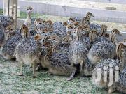Health Ostrich Chicks And Eggs For Sale | Livestock & Poultry for sale in Arusha, Arumeru