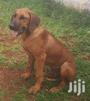 Purebred Rhodesian Ridgeback Puppies | Dogs & Puppies for sale in Dar es Salaam, Kinondoni