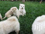 Baby Female Purebred Pomeranian | Dogs & Puppies for sale in Arusha, Arusha