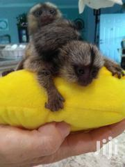 Cute And Well Trained Baby Marmoset Monkeys For Sale. | Other Animals for sale in Arusha, Arusha