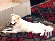 Young Male Mixed Breed American Eskimo Dog | Dogs & Puppies for sale in Dar es Salaam, Kinondoni