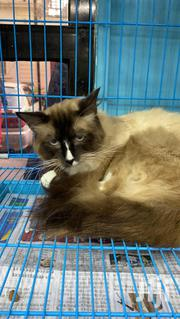 Young Male Purebred Ragdoll Cats | Cats & Kittens for sale in Dar es Salaam, Temeke